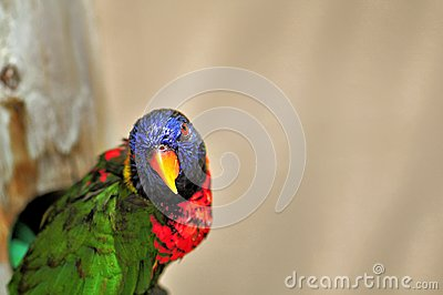 Closeup Of Rainbow Lorikeet Bird, Florida Stock Photo.