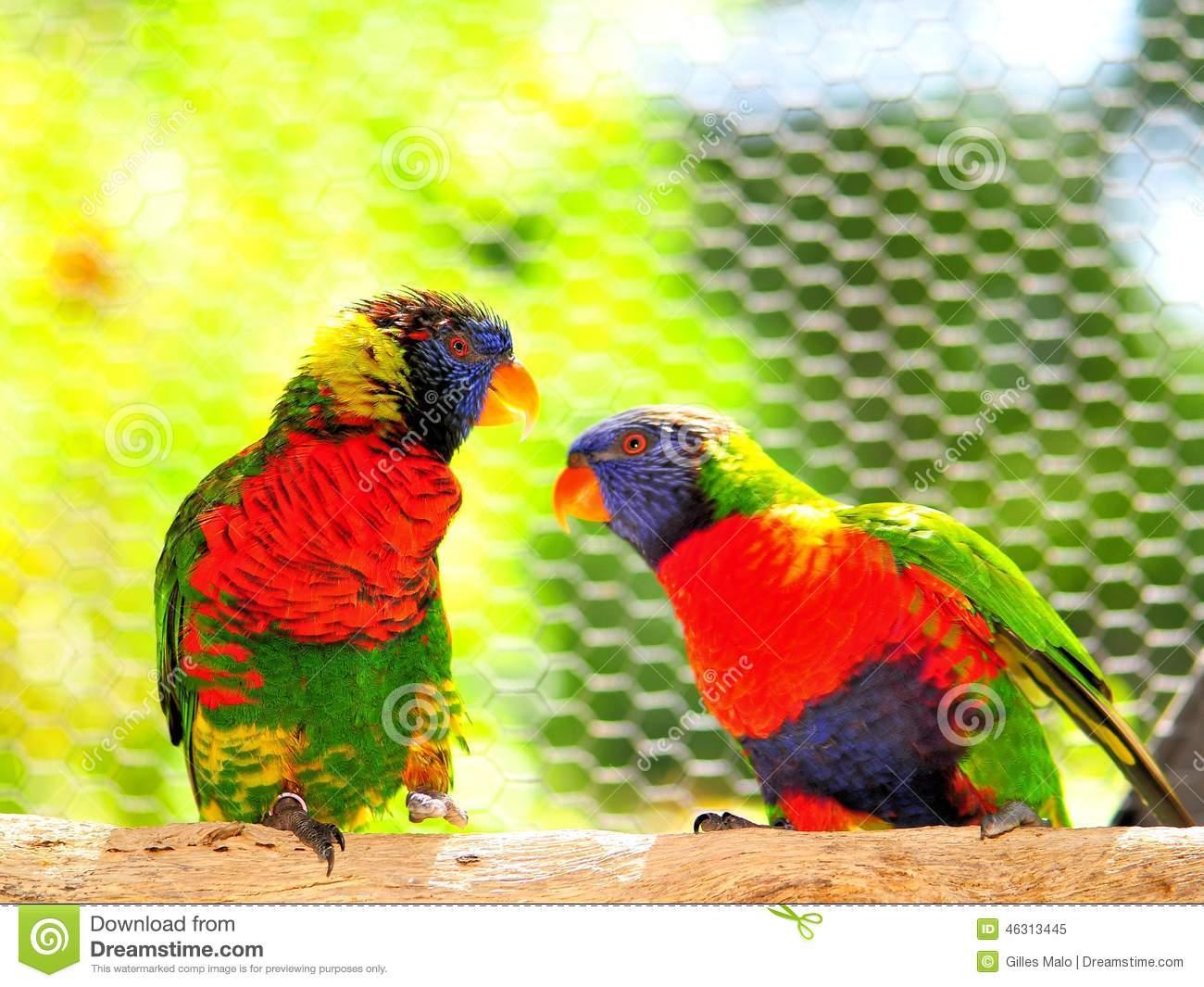 Parrots, Two Rainbow Lorikeet Birds Stock Photo.