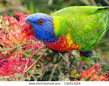 Loriinae Stock Photos, Images, & Pictures.