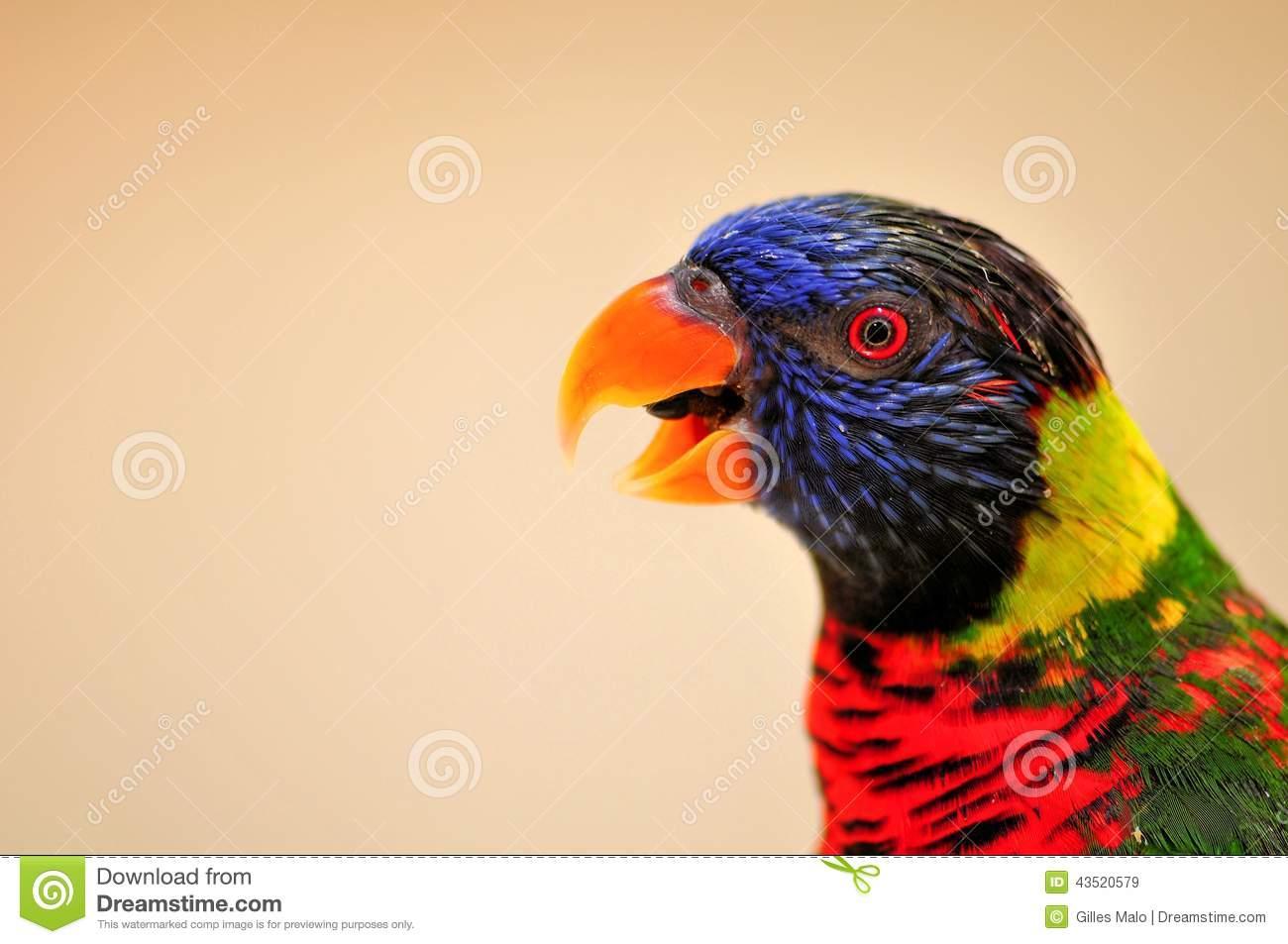 Closeup Of Rainbow Lorikeet Bird, Mouth Open Stock Photo.