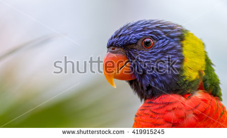 Curious Rainbow Lory Parrot Stock Photo 70884733.