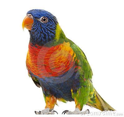 Rainbow Lorikeet Royalty Free Stock Image.