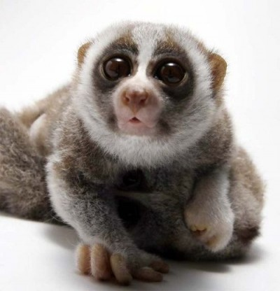 Cute Slow Loris.