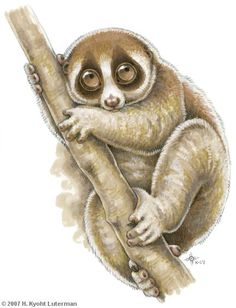 Love this toy #slowloris! The only type of loris that should be.