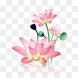 Lotus, Flowers, Flower PNG Transparent Clipart Image and PSD.