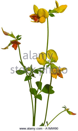 Lotus Corniculatus Cut Outs Stock Photos & Lotus Corniculatus Cut.