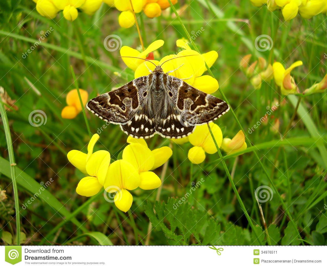 Mother Shipton Moth Stock Image.