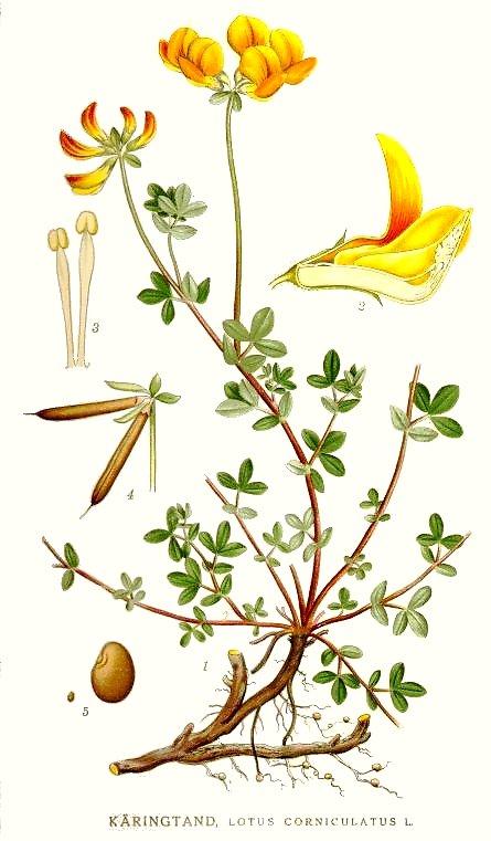 Lotus corniculatus, Fabaceae. From: 'Bilder ur Nordens Flora.