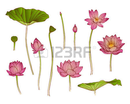 lotus flower illustration free #14
