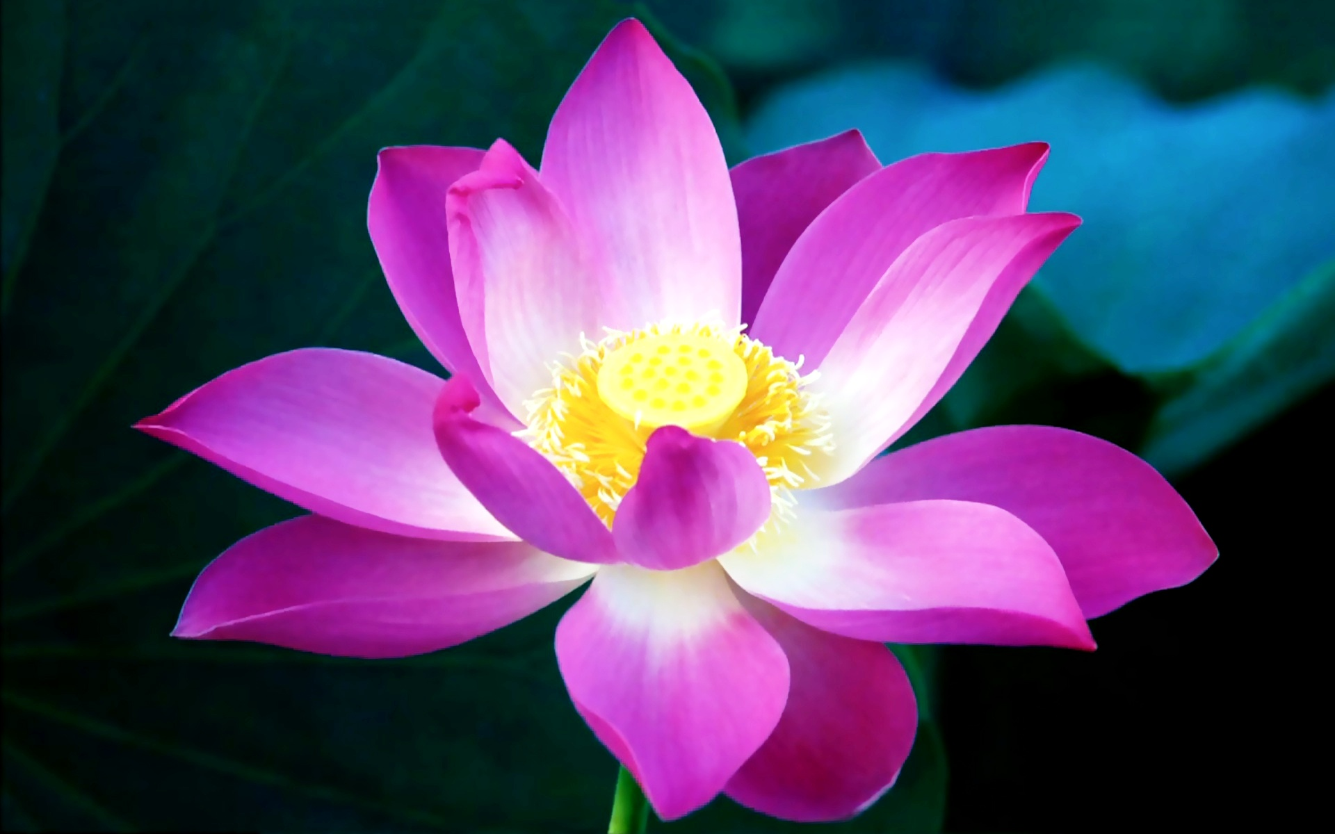 Lotus Flower Image Free.