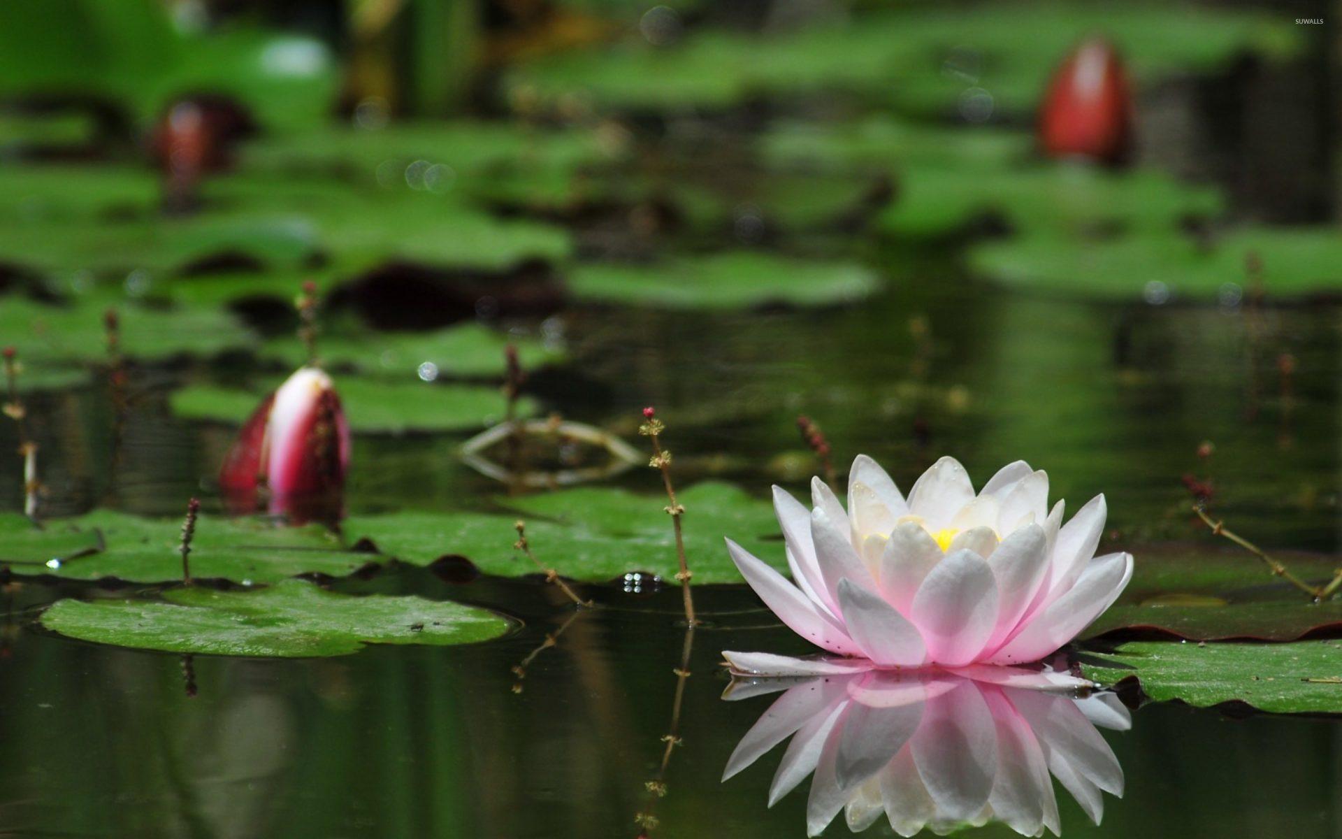 Lotus Flower Water Desktop Wallpaper Backgrounds Free Download.
