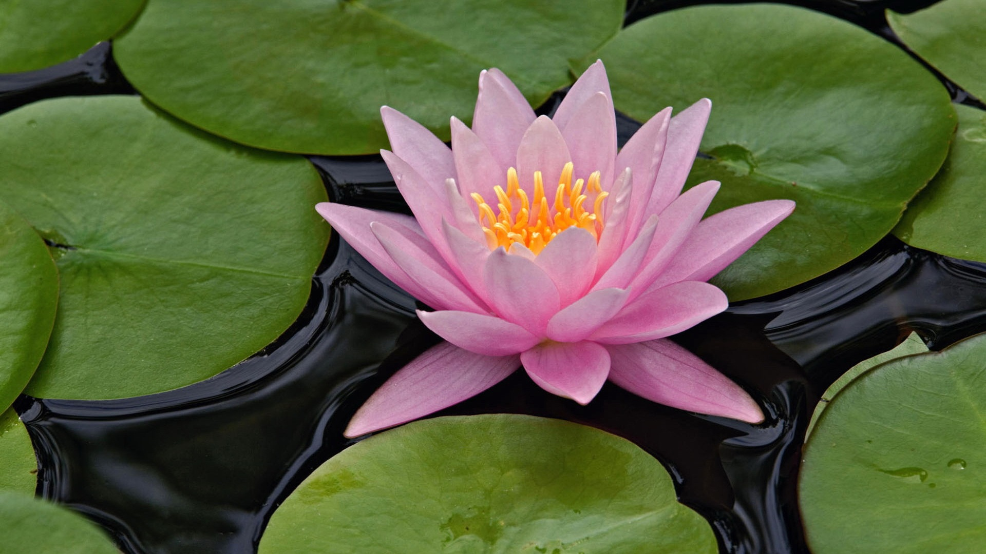 Lotus Flower HD Wallpaper.