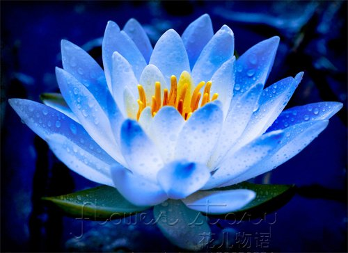 FREE SHIPPING 20 SEED Blue Fairy Lotus Flower Seeds Gorgeous.