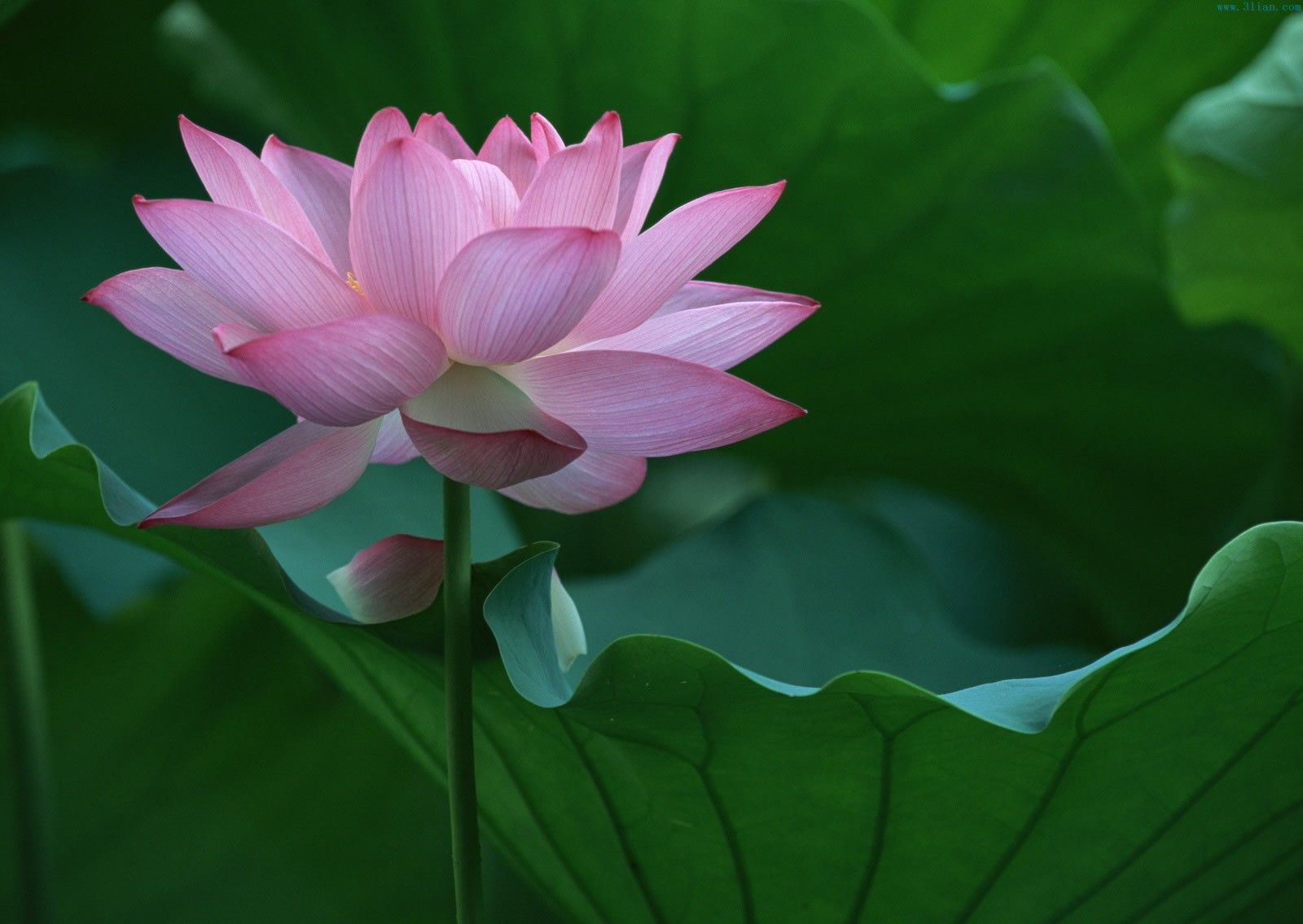 Lotus Flower Wallpapers.