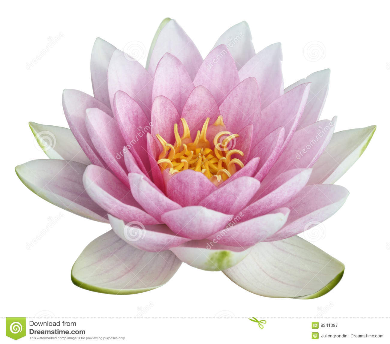 Lotus Flower Stock Photos, Images, & Pictures.