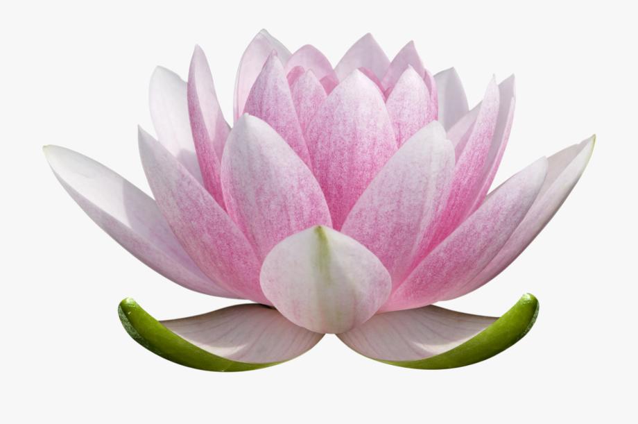 Lotus Clipart Lotus Blossom.