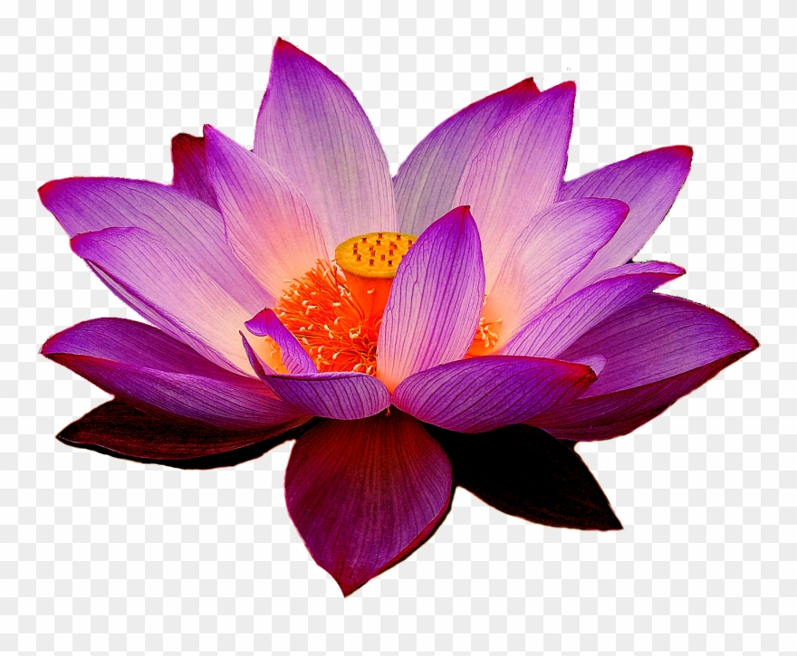Lotus Flowers Png.