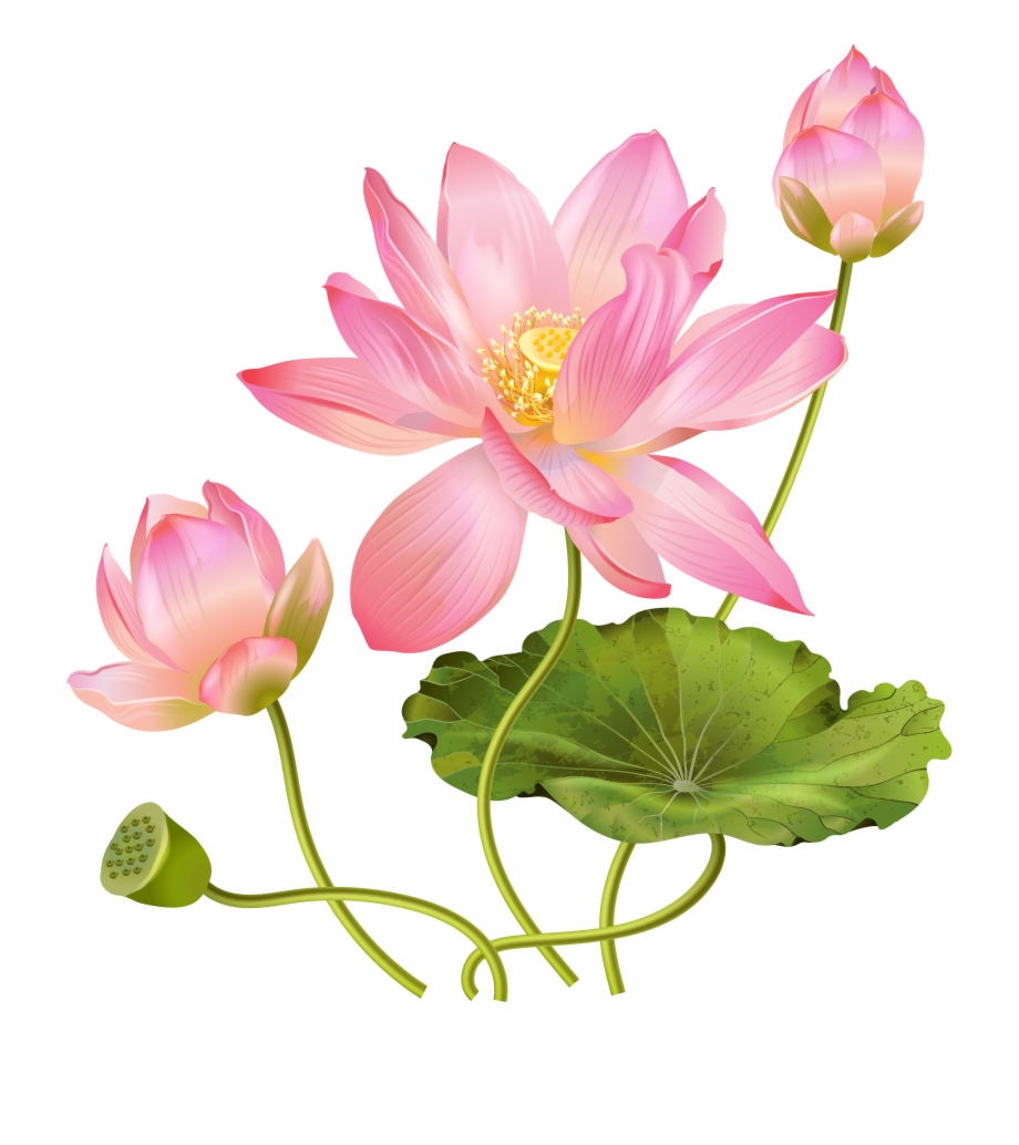 Lotus Flower Png Free PNG Images & Clipart Download #431160.