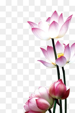 Lotus Flower Png, Vectors, PSD, and Clipart for Free.