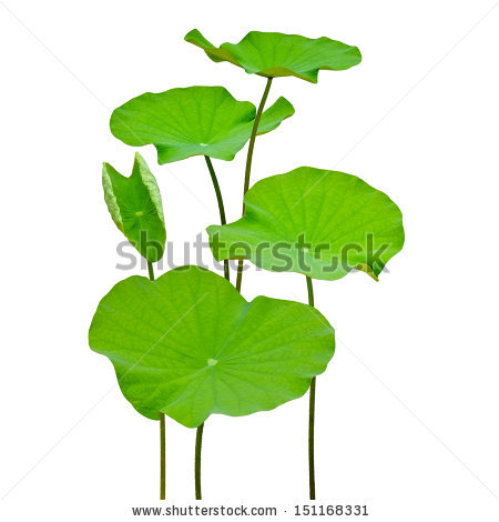 Lotus Leaf Stock Images, Royalty.