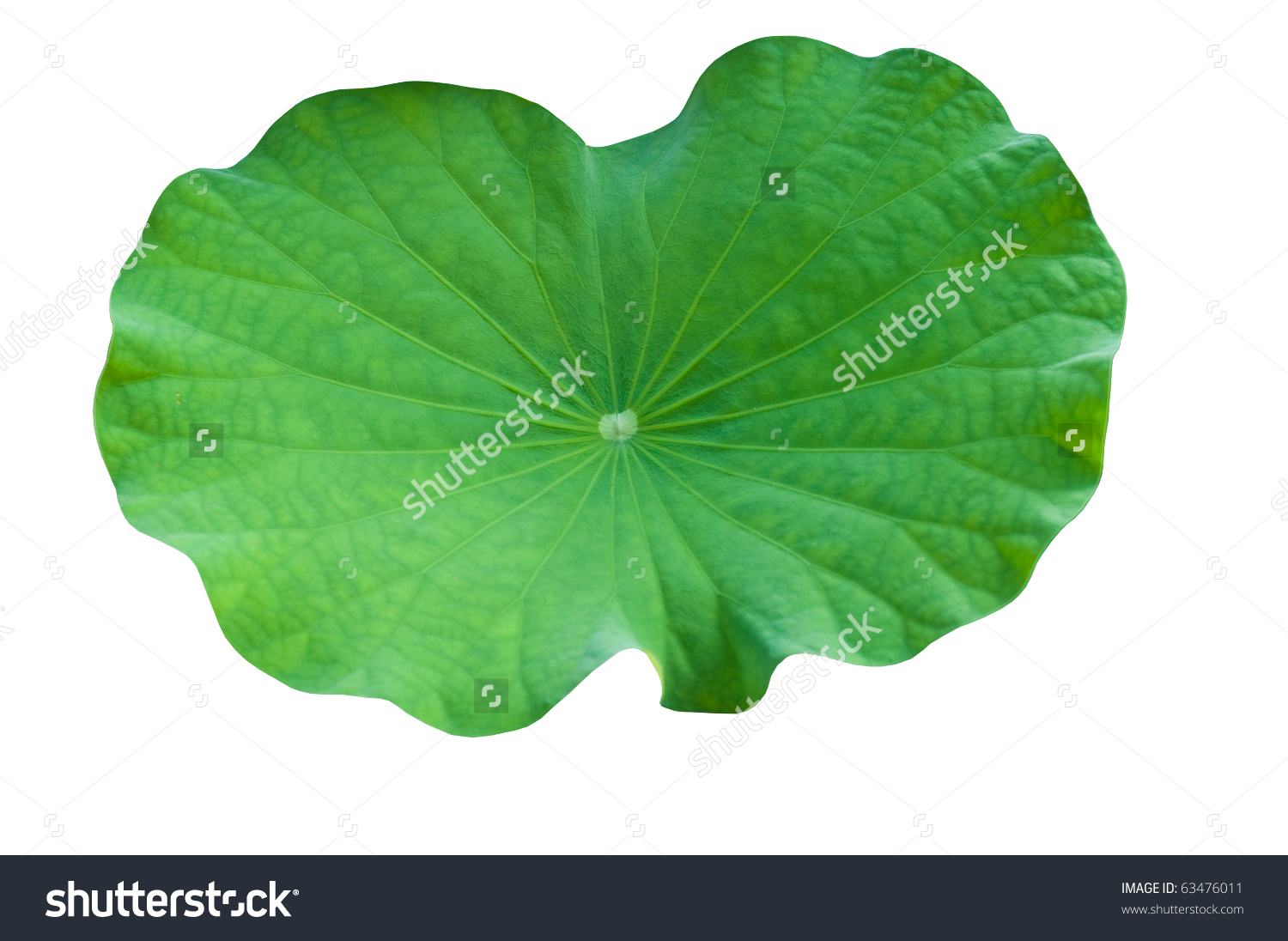 Lotus Leaf Stock Photo 63476011.