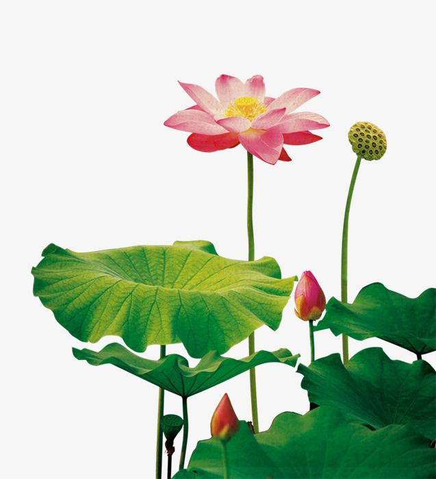 Lotus Flower, Flower Clipart, Lotus Clipart, Lotus PNG.