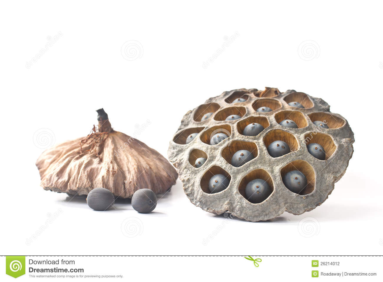 Dried Lotus Seed Pod Stock Photography.