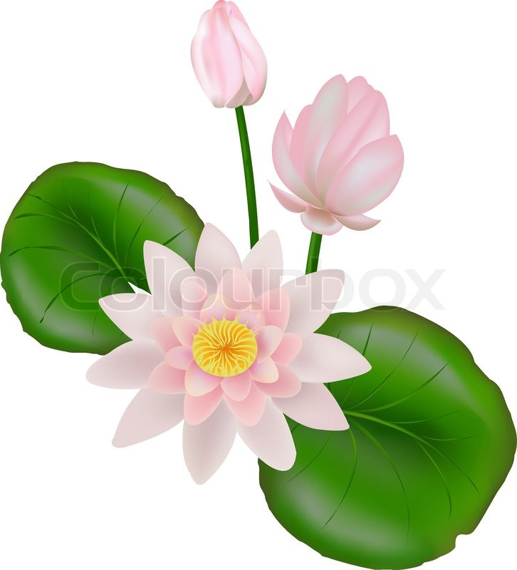 Pink and white Lotus Flower or Water Lily Floating On Water.