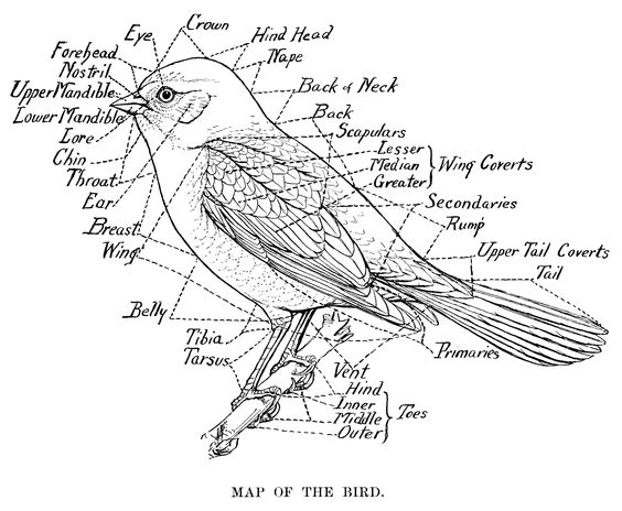 vintage bird clip art, map of the bird, black and white graphics.