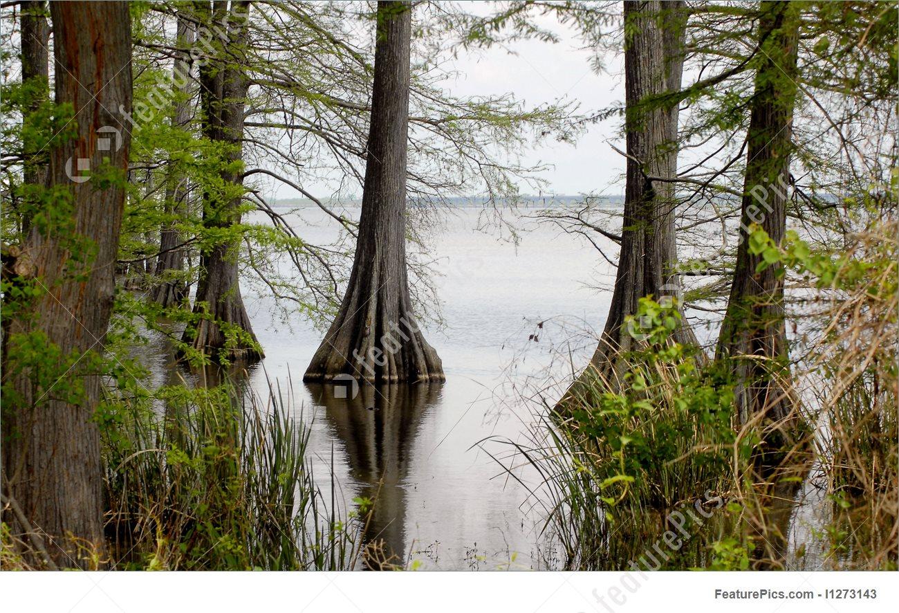 Picture Of Louisiana Bayou.