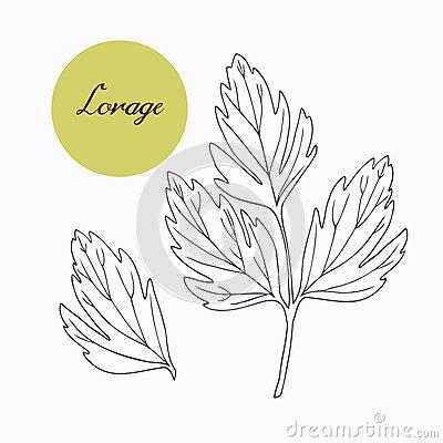 Lovage Stock Illustrations.