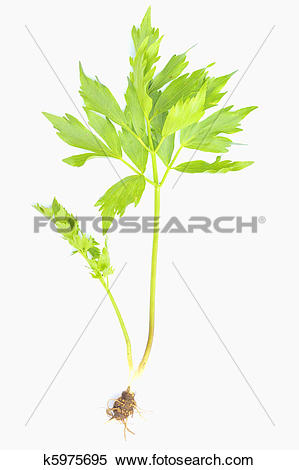 Stock Image of herb lovage isolated k5975695.