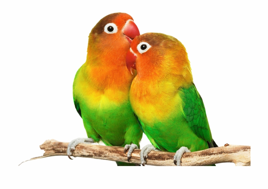 Love Birds Png.