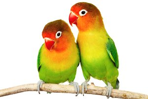 Download Free png Lovebird PNG HD PlusPNG.com 3.