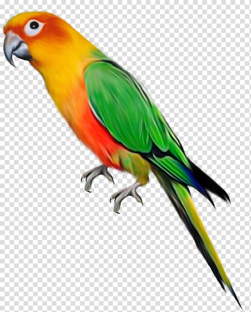 Parrot Lovebird , transparent background PNG clipart.