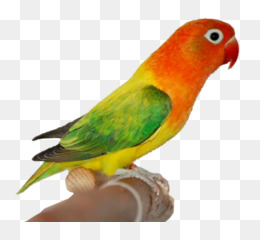 Love Birds Images Hd Png.