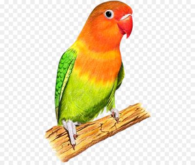 Lovebird PNG.