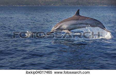 Stock Image of Indopazifischer Grosser Tummler (Tursiops aduncus.