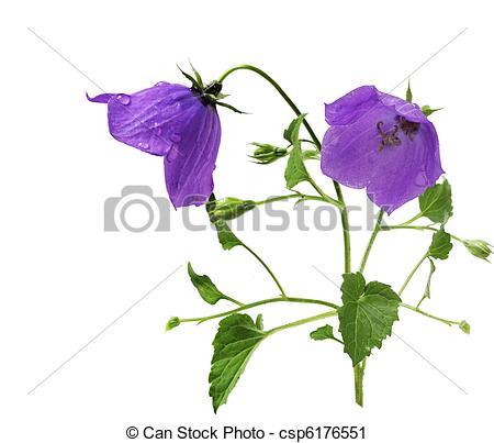 Stock Photography of Carpathian bellflower.