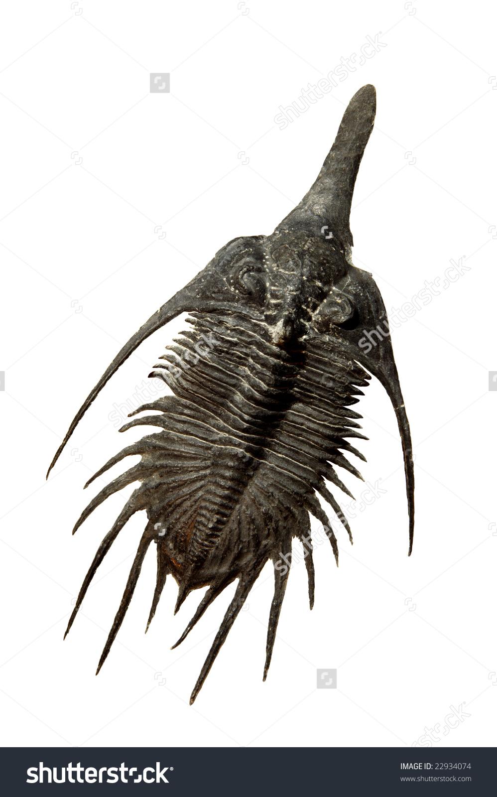 Psychopyge Elegans Trilobite From Lower Devonian Formation In.