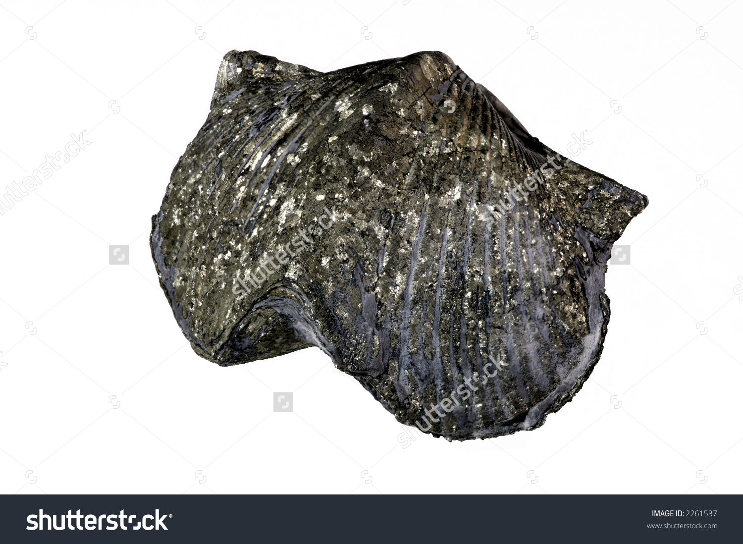 Bivalve Fossilized In Pyrite. Silica Formation, Lower Devonian.