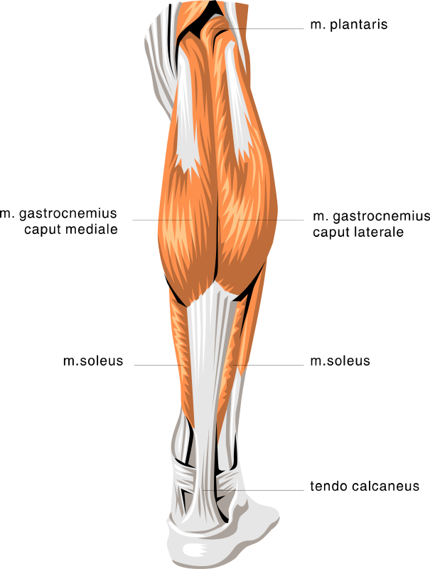 Muscles Clip Art Download.