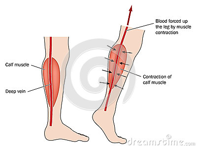 Leg calf clipart.