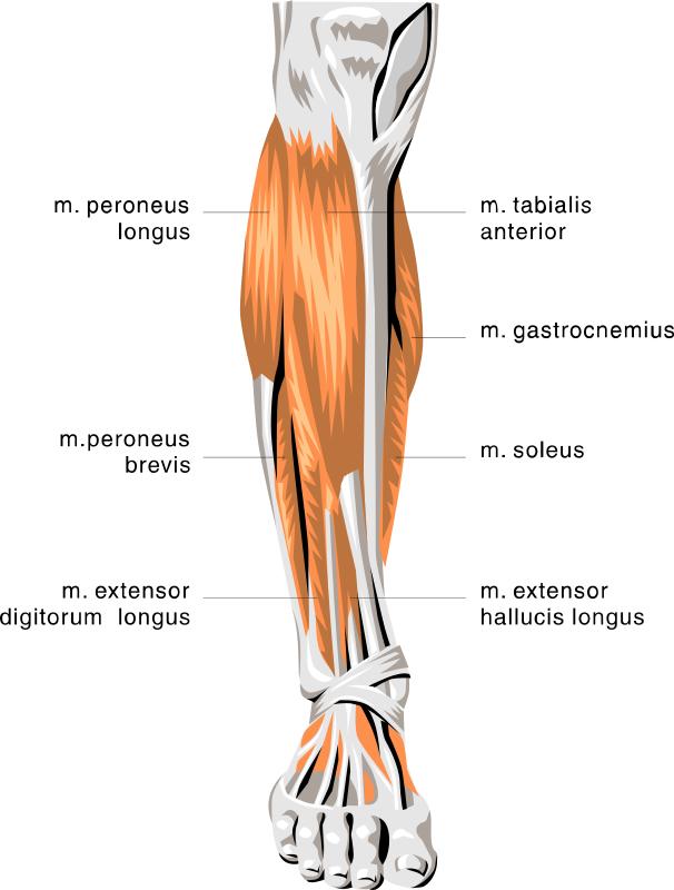 Anatomy Lower Leg Muscles Clip Art Download.