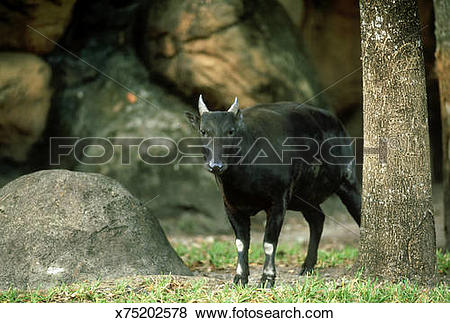 Pictures of lowland anoa: anoa depressicornis female at rub tree.