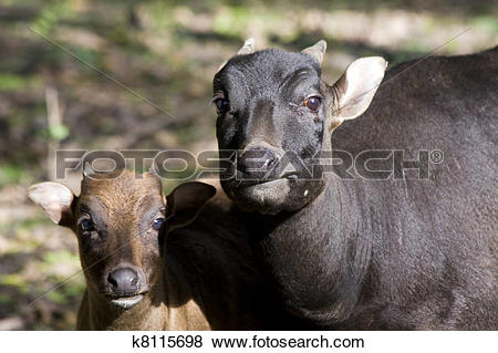 Pictures of Lowland anoa calf and mother k8115698.