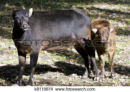 Stock Photo of Lowland anoa calf and mother k8115674.