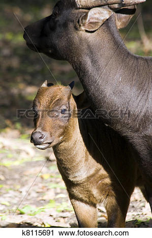 Stock Photography of Lowland anoa calf and mother k8115691.