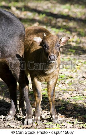 Picture of Lowland anoa calf.