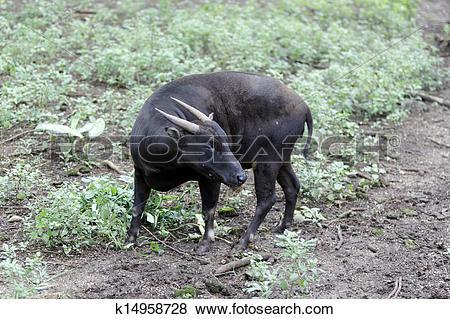 Pictures of Lowland anoa, Bubalus depresicornis k14958728.